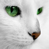 白ネコころん